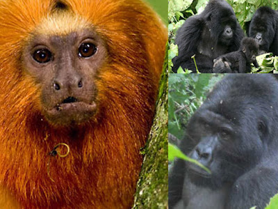 4 Days Gorilla Tracking in Volcanoes National Park | Dian Fossey's Grave Hike | Golden monkey tracking