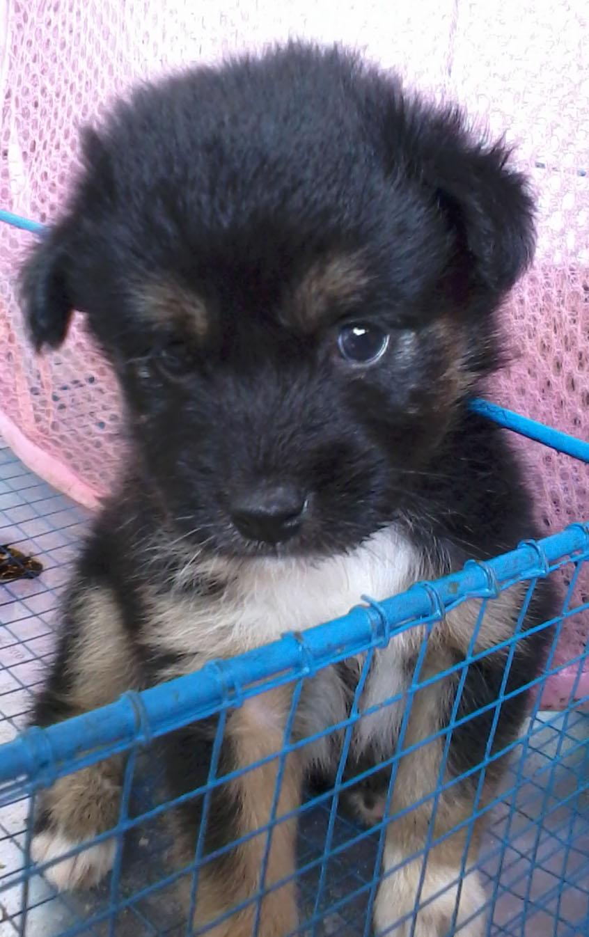 Bajotimputrev Shop Dijual Anak Anjing Mix Boomer Yorkie CANTIK