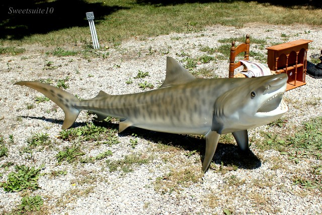 FIBERGLASS SHARK WITH REAL SHARK TEETH