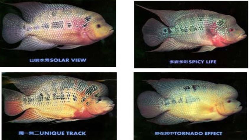 Cara Agar Ikan Louhan Berkualitas Prima