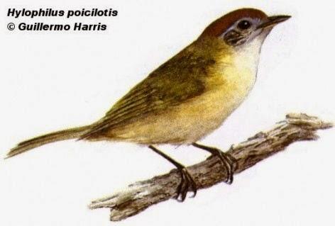 Chiví coronado, Hylophilus poicilotis