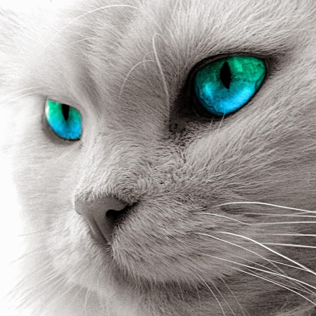 「ブルーアイ」を含む猫の里親 ... - pet-home.jp
