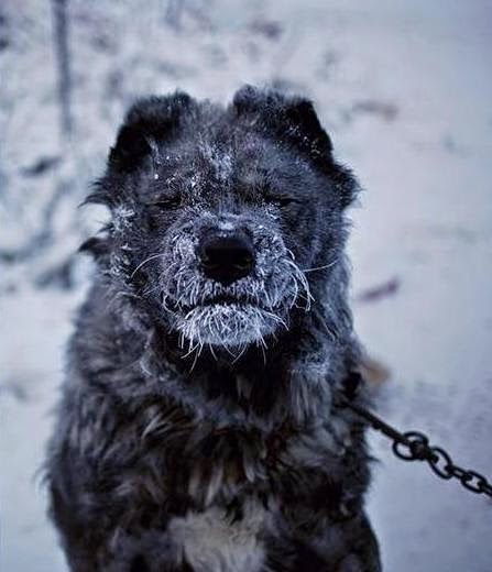 A guard dog becomes frosty-nosed in the suburbs. - Welcome to The Coldest Place Inhabited By Humans on Earth
