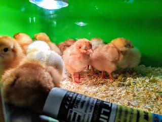 Chicks in the Incubator