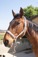 cheval jument Iroise équitation