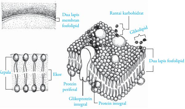 Membran sel pada tumbuhan fungsi membran sel pada tumbuhan ccuart Choice Image