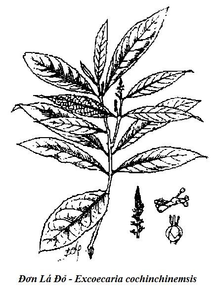 Hình vẽ Đơn Lá Đỏ - Excoecaria cochinchinemsis - Nguyên liệu làm thuốc Chữa Bệnh Tiêu Hóa
