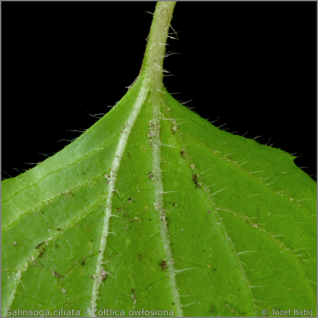 Galinsoga ciliata leaf from the bottom  - Żółtlica owłosiona liść od spodu