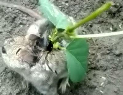 Kecambah tumbuh di kepala tikus
