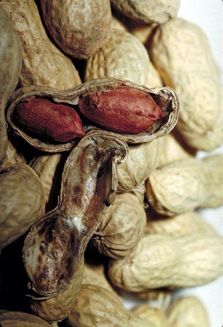 Củ và hạt Lạc - Arachis hypogea - Nguyên liệu làm thuốc Nhuận Tràng và Tẩy