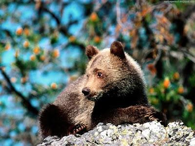 bears normal resolution hd desktop background wallpaper 4