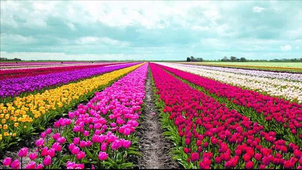 kampoeng tulip destinasi wisata instagramable di bandung