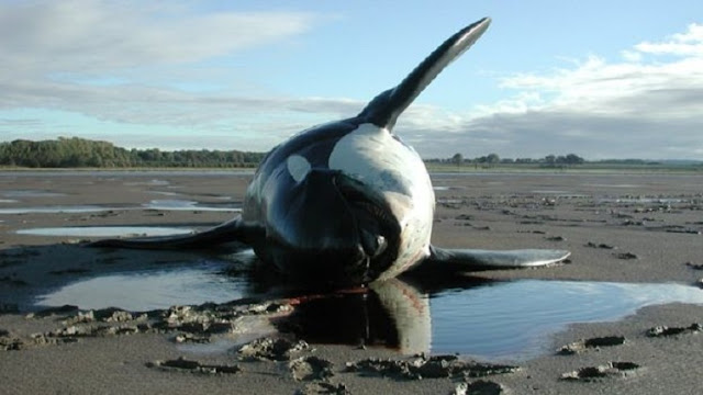 Chemicals threaten Europe's killer whales with extinction