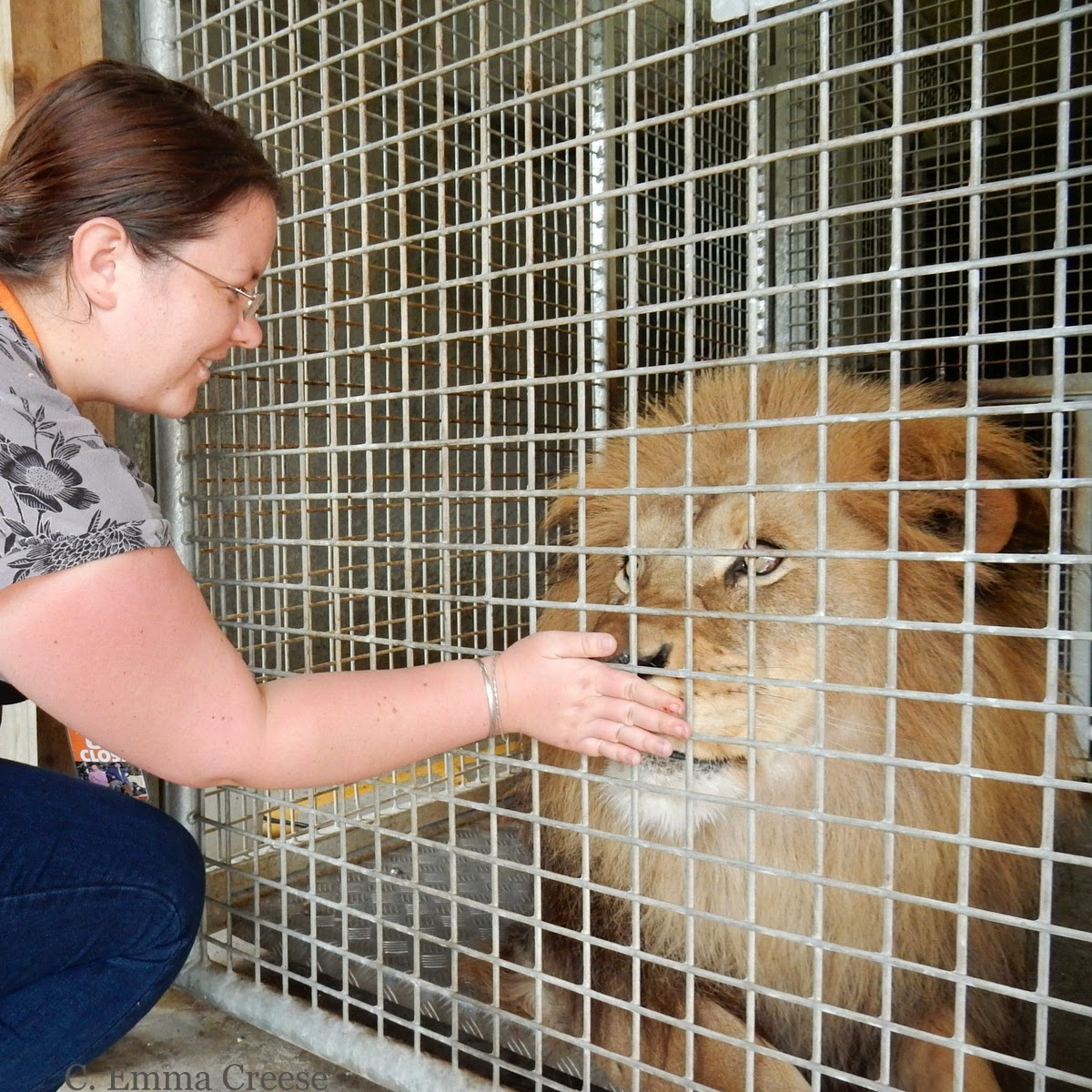 Feeding a Lion at Wellington Zoo, New Zealand - Adventures of a London Kiwi