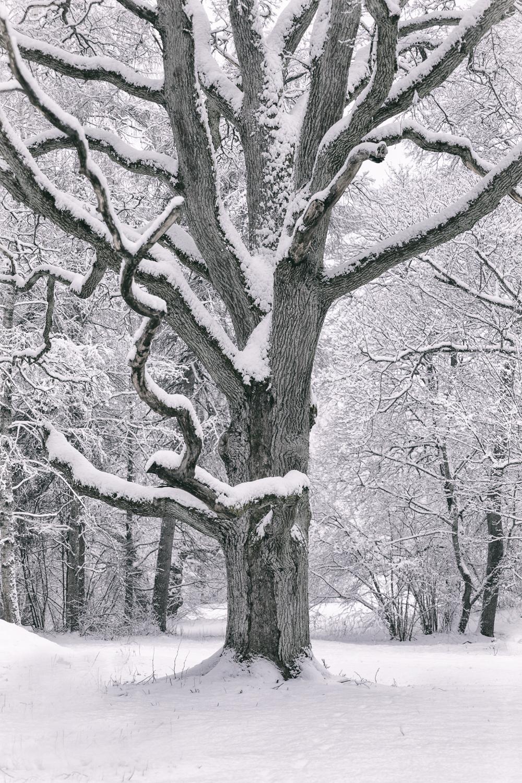 talvi, luonto, winter, winterwonderlans, lumi, snow, scandinavia, stillmoments, nature, naturephotography, luontovalokuva, Visualaddict, valokuvaaja, Frida Steiner, Auroran puisto, tree, puu