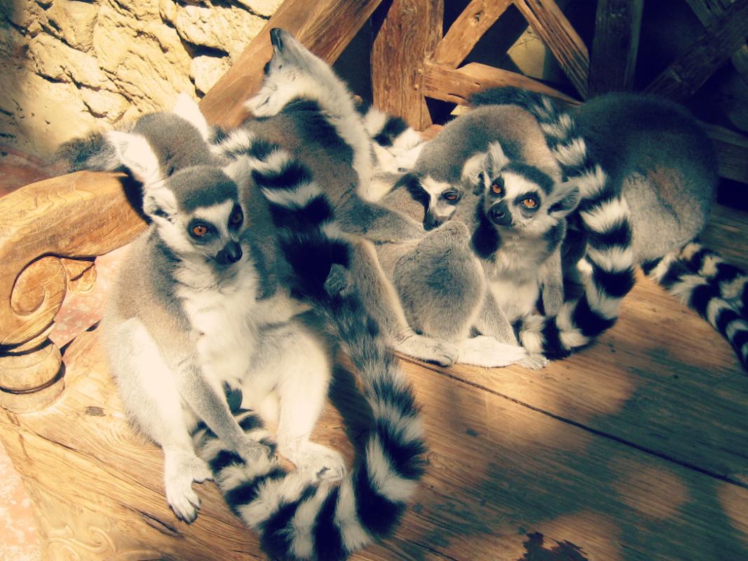 lemury zoo Hamburg