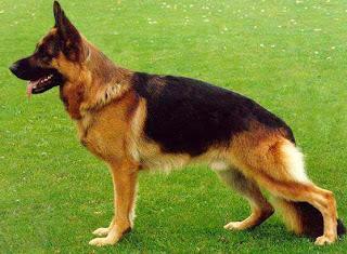 perros pastor aleman