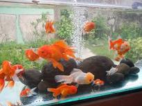 cara merawat ikan mas koki