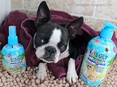 Sinead the Boston terrier posing with bottles of shampoo