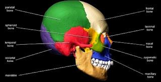 Anatomi Sistem Alat Gerak Skeleton Axial, Jenis dan Penjelasannya