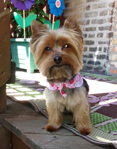 Miniature Yorkshire Terrier: Summertime Yorkie Haircut
