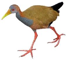 Saracura (Aramides cajanea)