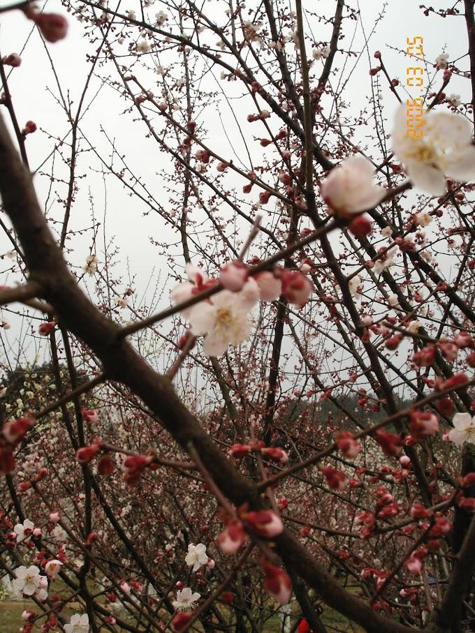 杭州靈峰探梅 2006年學長姐跟同期一起去賞花 【下部】-張傑克