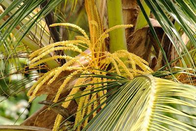 Fiori-palma-cocco