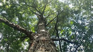 Carya illinoinensis (pecan) tree leaves new orleans louisiana nuts bark