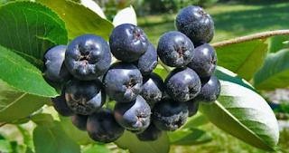 ΑΡΩΝΙΑ: – Ένα θαυματουργό φυτό για την υγεία