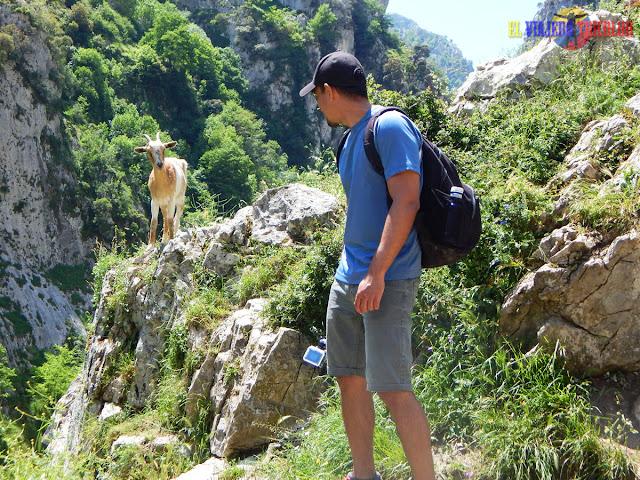 Encuentro con cabra en la Ruta del Cares