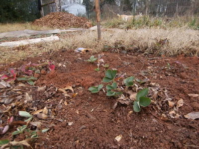 the weeding of my strawberry bed
