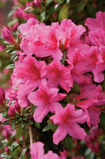 Gambar Bunga Azalea yang Indah 3