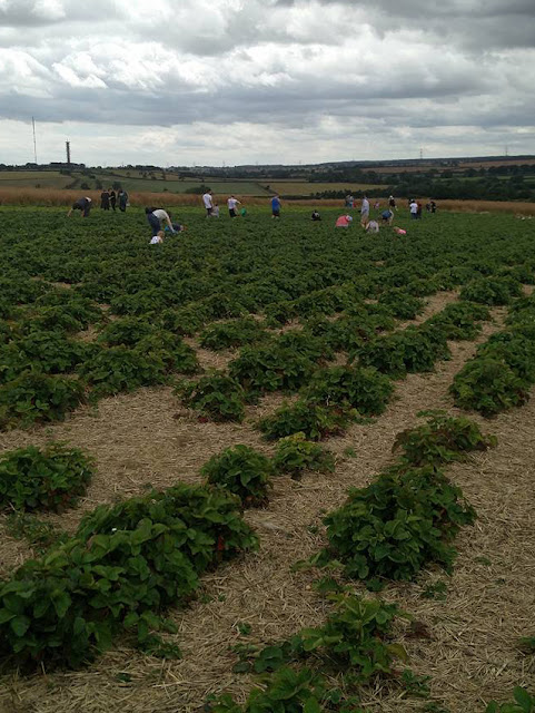 Families picking strawberries