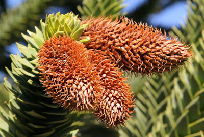 Araucaria Araucaria araucaria