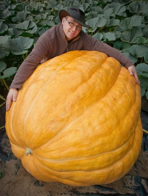 Abóbora gigante cresce 4 a 5 quilos por dia