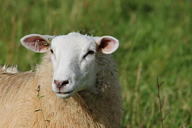 Πληρωμές 29 εκατ. ευρώ σε 7.000 δικαιούχους του προγράμματος Βιολογικής Κτηνοτροφίας