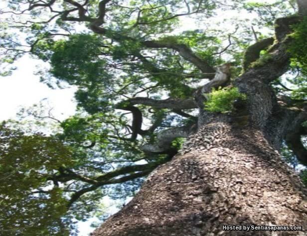 Pokok 'Patriarca de Floresta'