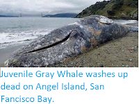 https://sciencythoughts.blogspot.com/2018/03/juvenile-gray-whale-washes-up-dead-on.html
