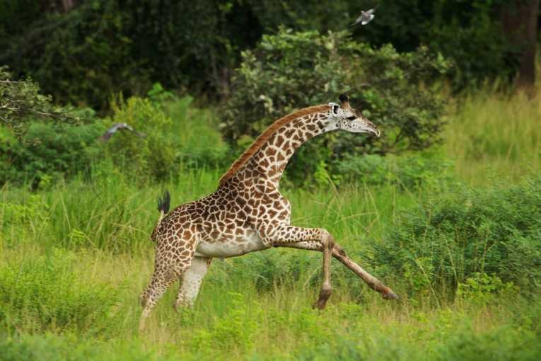 Giraffes | Tallest Animal In The World | Wildlife Of World
