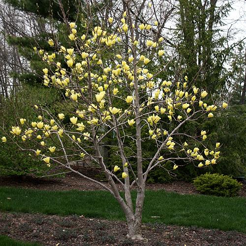 Magnolia Butterflies Magnolia Trees