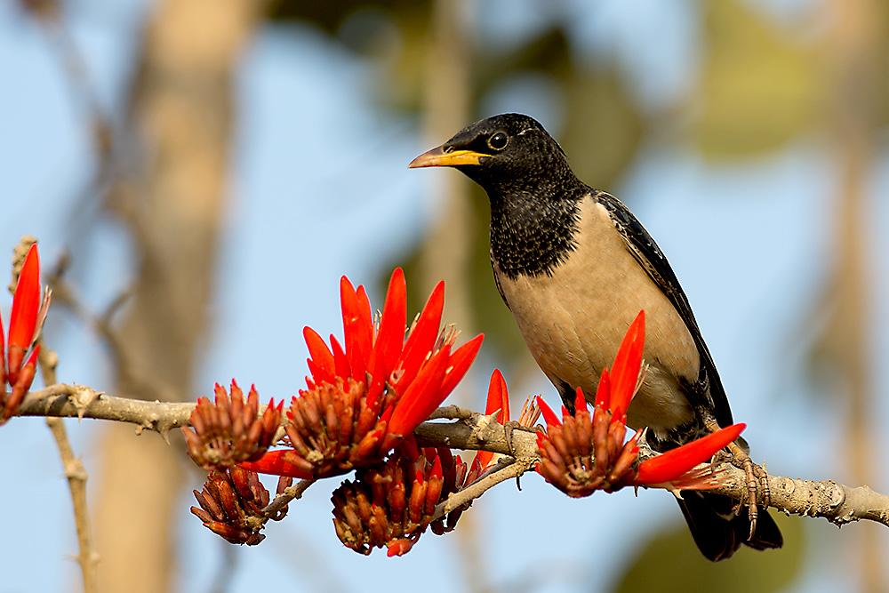Arunachala Birds Rosy Starling