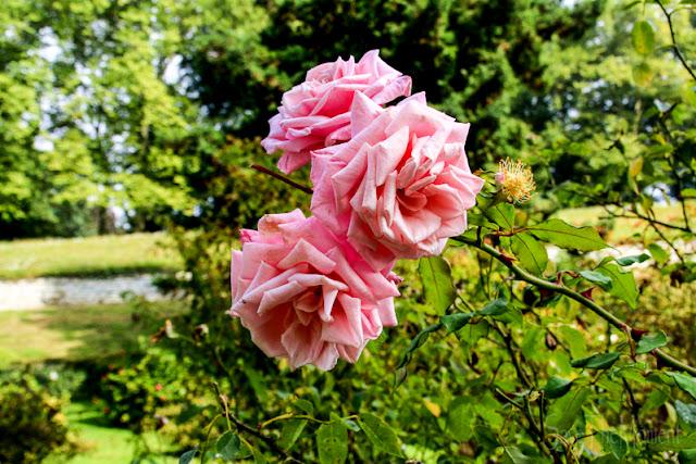 Rosen Blumengärten Insel Mainau, Bodensee