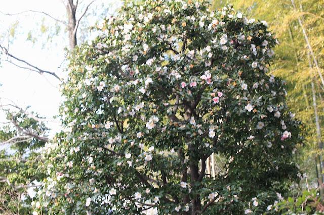正覚寺の白い椿