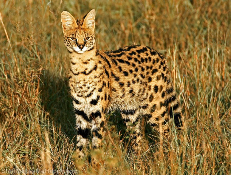 Rare Wild Cats You Never Knew Existed (Pictures)