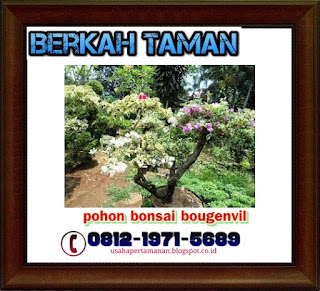 Pohon bonsai bunga kertas - bougenville