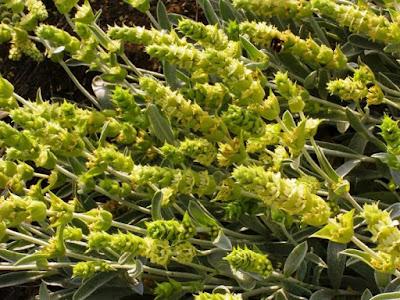 Τσάι Ολύμπου: νέα αγροτική καλλιέργεια με χαμηλό ρίσκο