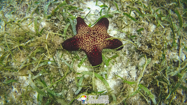 Bright red starfish