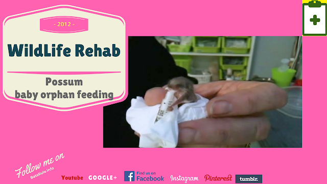 Rehab | Possum | baby orphan feeding