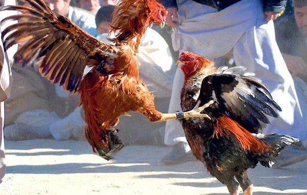Jual Ayam Aduan Super di Pati